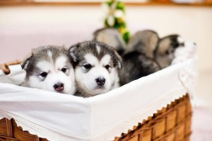malamut_puppies